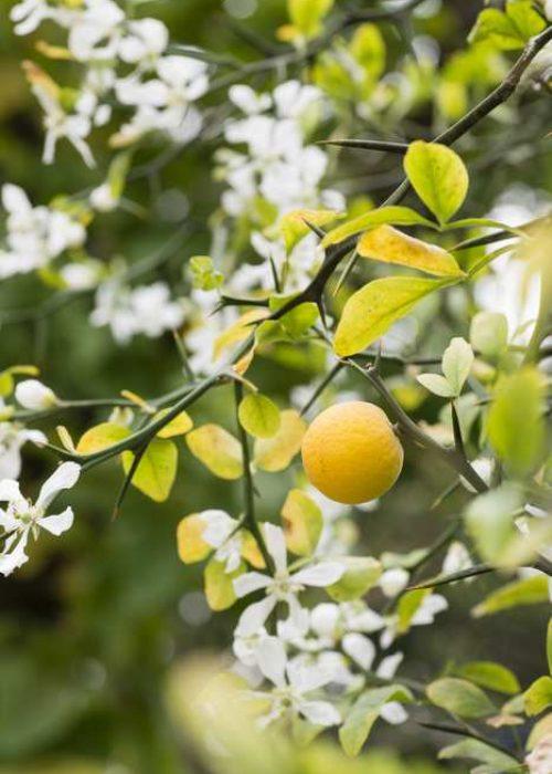 anthismeni-portokalia